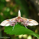 Window-Winged Moth