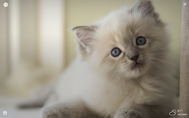 My Ragdoll Cat HD Wallpapers New Tab Theme