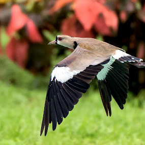 Southern Lapwing by Edison Pargass - Animals Birds ( bird, flight, trinidad, southern lapwing, port of spain )