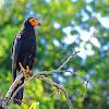 Gavião-de-anta (Black Caracara)
