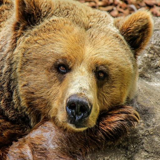 Bear Videos (app)