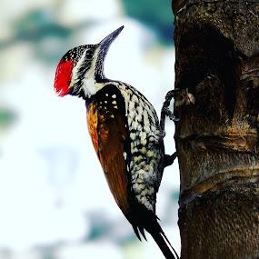 Woodpecker  by Rajarshi Das - Animals Birds (  )