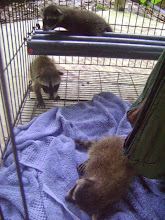 Photo: Baby male Raccoon - survivor of poisoning 2012-08-32Baby female raccoon- someone killed the mom 2012-08-33Baby male raccoon- survivor of a huge rainforest rain! found in the street wet and dirty 2012-08-35