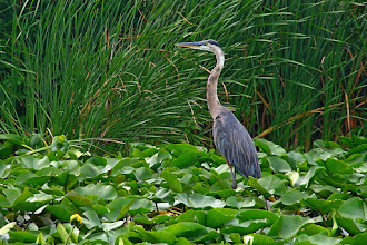 Photo: For #ShoerbirdSunday curated by +Phil Armishaw  My only OK shot of a heron was taken with my walk-around lens (18-135mm). I was in a canoe at the time with my family. I thanked the bird for letting me get close.
