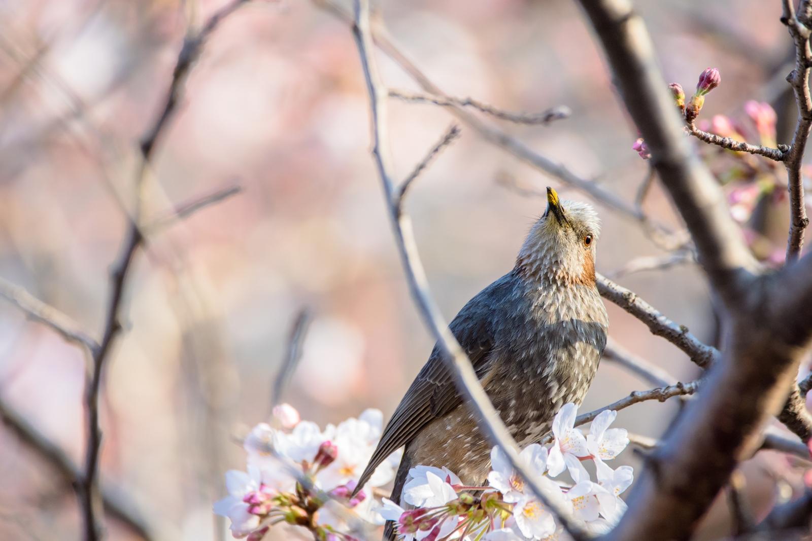 Photo: 「恍惚」 / Entranced.  うれしいって気持ち 君の顔を見ていると とてもよくわかる もっと続いたらいいのにね  Brown-eared Bulbul. (ヒヨドリ)  Nikon D7200 SIGMA 150-600mm F5-6.3 DG OS HSM Contemporary  #birdphotography #birds #kawaii #小鳥 #nikon #sigma #小鳥グラファー  ( http://takafumiooshio.com/archives/2315 )