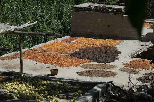 Travel Guide to the Hushe Valley // Apricot harvest in Machollo