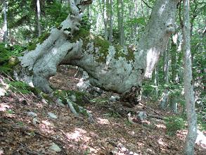 Photo: zanimljivo drvo, čudno kako izdrži vlastitu težinu