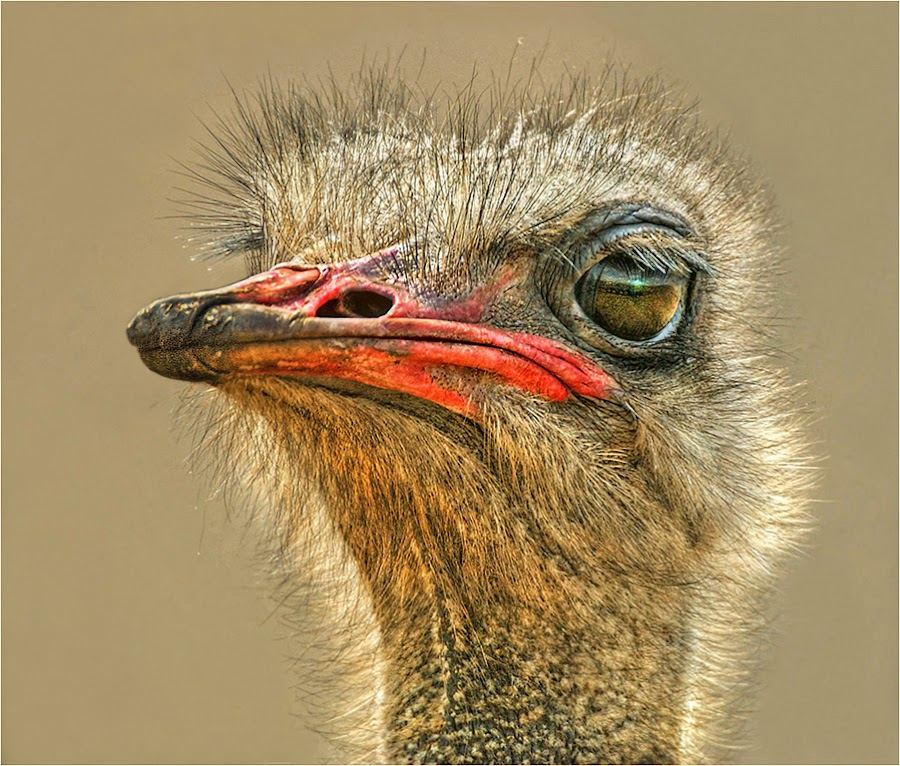 ostrich by Leon Pelser - Animals Birds ( monopod, f 6.3, 1/500, iso 200, auto wb,  )