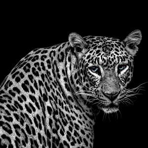 Leopard turning full edit denoise black and white blue eyes.jpg