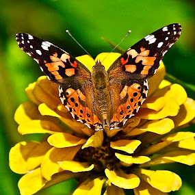 American Painted Lady Butterfly by Doug Wean - Animals Insects & Spiders ( nature, butterfly, wings, insect, nature up close, garden, nature close up, zinnia, american lady, flower,  )