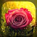Roses APK