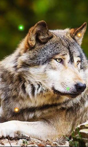 Wild Wolf HD live wallpaper