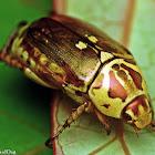 Shining Leaf Chafer Beetle