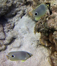 Photo: A FEW HIGHLGHTS: Four-eye Butterfly In the Reef Crest Zone.