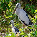 Asian Open Billed Stork and baby