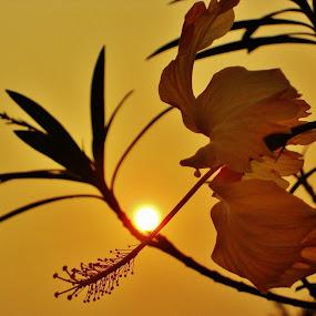 China Rose beauty... by Projit Roy Chowdhury - Nature Up Close Flowers - 2011-2013