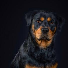 Hi by Astrid Kallerud - Animals - Dogs Portraits ( pets, rottweiler, dogs, animal, animals, dog, pet, dog portrait )