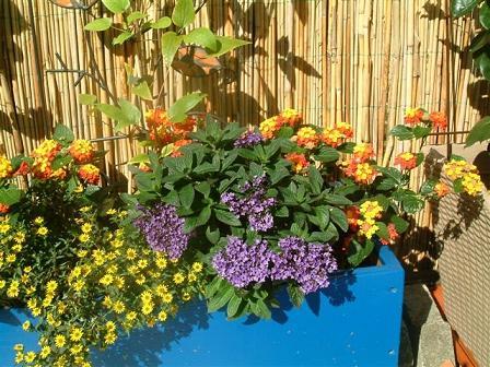 clematis wandelr schen vanilleblume mandevilla kartoffelblume berwintern vermehren mein. Black Bedroom Furniture Sets. Home Design Ideas
