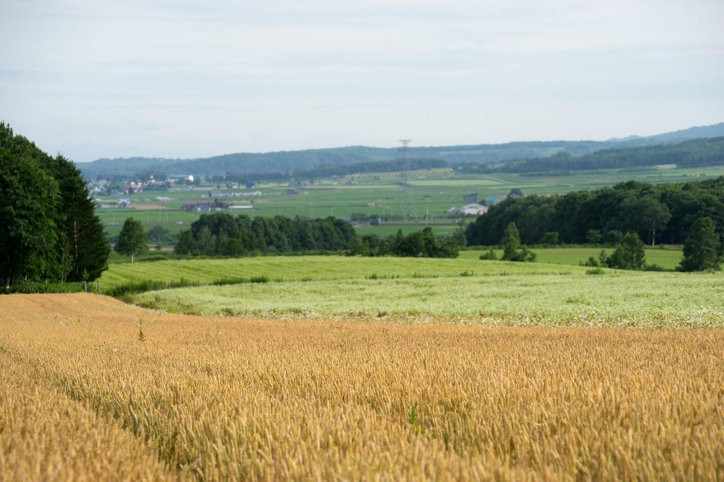 黄金の麦と白いソバ
