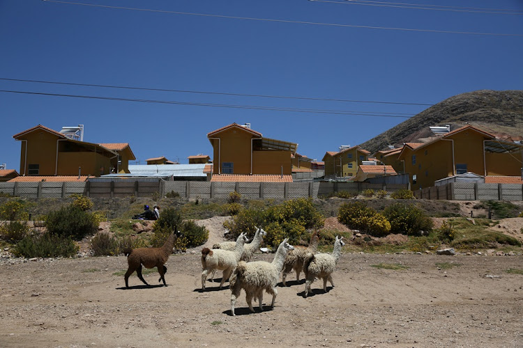 Llamas walk in a garden in the town of Nueva Fuerabamba in Apurimac, Peru, October 3, 2017.