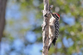 Photo: Ladder-backed Woodpecker