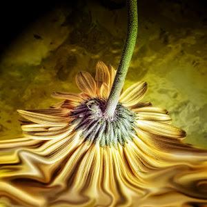 yellow gerbera.psd.jpg