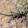 Lagartija espinosa de collar / Spiny lizard