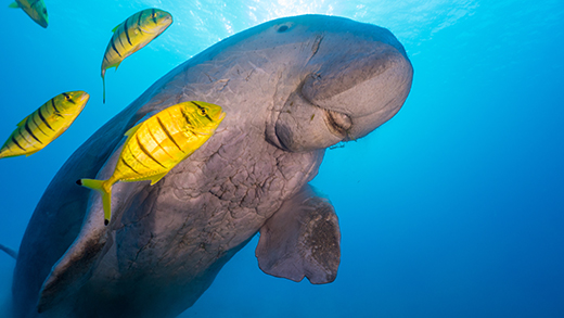 A dugong swimming in the tropical sea water