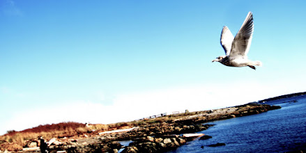 Photo: Seagull in flight at Cattle Point, Victoria, BC, Canada