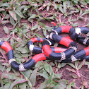 South American Coral Snake
