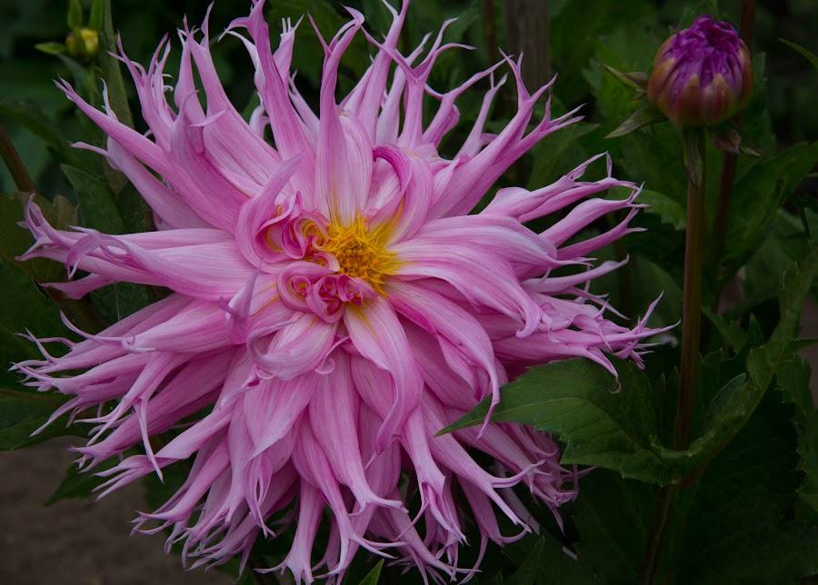 A Riot Of Petals by Janet Marsh - Flowers Flower Gardens ( wild, purple, dalhia, san francisco,  )