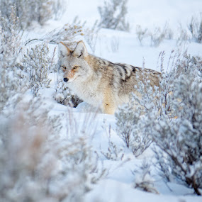 Canis latrans by John Smith - Animals Other Mammals ( canine, coyote, winter, cold, snow, wildlife, dog )