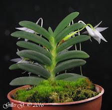 Photo: Angraecum aloifolium