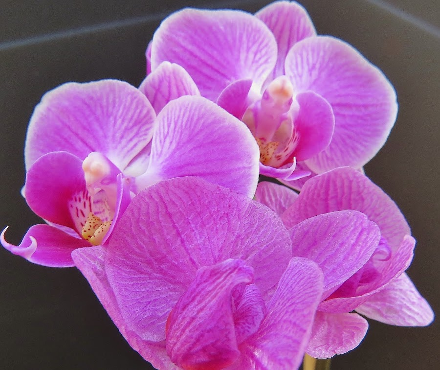 Pretty Maids in a Row by Carol Olejnik - Nature Up Close Flowers - 2011-2013 ( purple, orchids, flowers, sun )