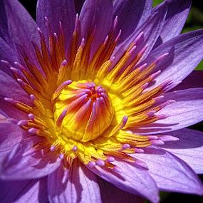 Water Lilie by Benyamin Kristiawan - Nature Up Close Flowers - 2011-2013 ( water lilie, purple, flower, , watter lilies )
