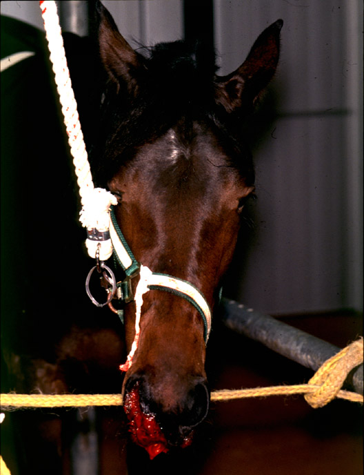 Epistaxis in a horse with severe thrombocytopenia.