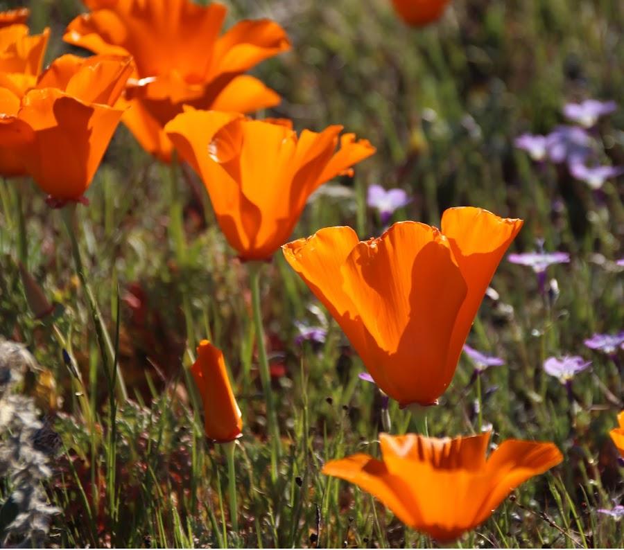 Orange by Randi Hodson - Flowers Flowers in the Wild ( field, poppies,  )