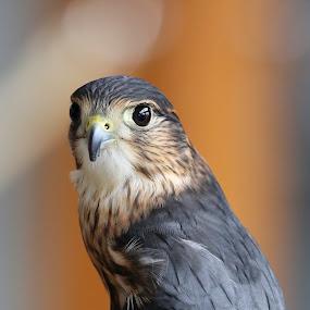 On Alert by Debbie Salvesen - Animals Birds ( orphan, bird of prey, haines, wildlife photography, nature, 2015, alaska, wildlife, rescued, july, , #GARYFONGDRAMATICLIGHT, #WTFBOBDAVIS )