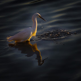 by Indra Fardhani - Animals Birds ( bird, wildlife, egret,  )