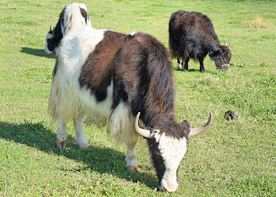 Photo: Yaks are heavily built animals with a bulky frame, sturdy legs, and rounded cloven hooves. They are the only wild bovids of this size with extremely dense, long fur that hangs down lower than the belly.