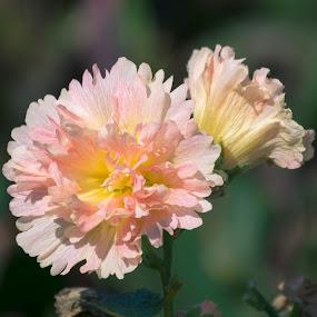 Flower by Khaled Noaman - Flowers Flower Buds (  )