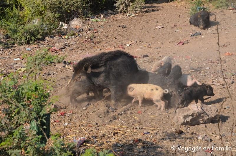 cochons sauvages Bundi
