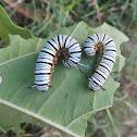 Caterpillar of Blue Tiger Butterfly