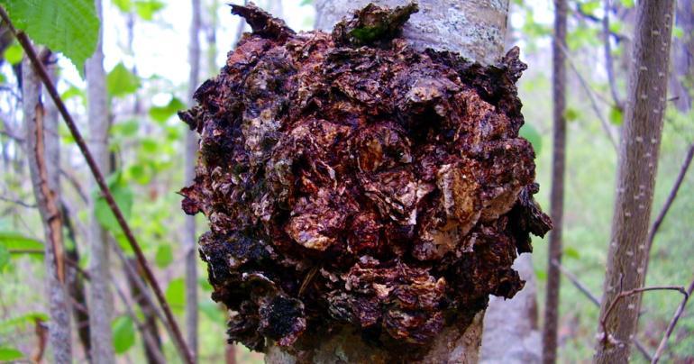 Cogumelos Chaga em uma árvore