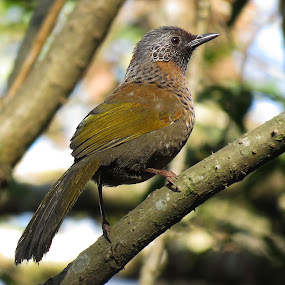 Chestnut  Crowned Loughingthrush by Asim Mandal - Animals Birds