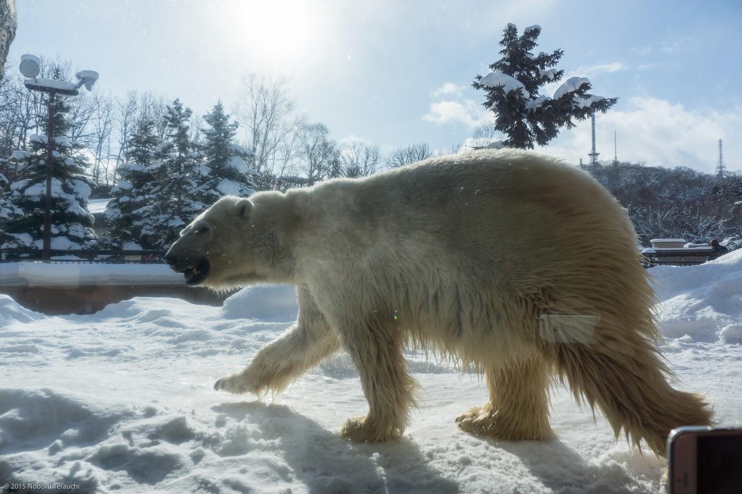 雪の上をテンポよく歩きまわるほっきょくぐまくん