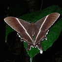 Giant Uraniid Moth/Tropical Swallowtail Moth