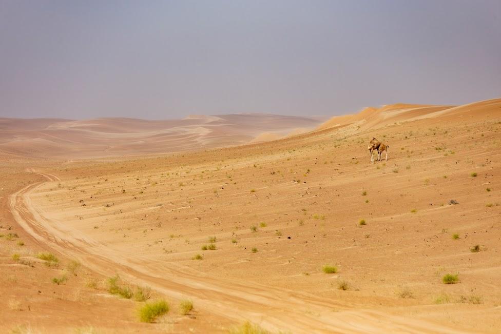 Sharqiya Sands, Oman, pustynia, wielbłąd