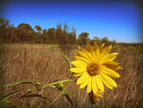 Photo: Old-fashioned photo of a yellow flower in a field at Cox Arboretum and Gardens Metropark in Dayton, Ohio.