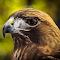 Redtail-Hawk-IMG_3145.jpg